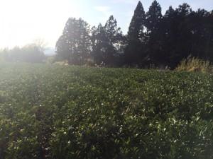 真冬の茶園